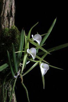 Orchids in Bloom: brassavola nodosa