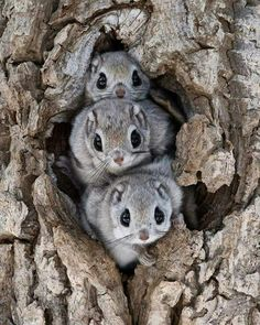 he Siberian flying squirrel is an Old World flying squirrel with a range from the Baltic Sea in the west to the Pacific Coast in the east. It is the only species of flying squirrel found in Europe. Cute Creatures, Beautiful Creatures, Animals Beautiful, Unusual Animals, Cute Little Animals, Cute Funny Animals, Cute Dogs, Nature Animals, Animals And Pets