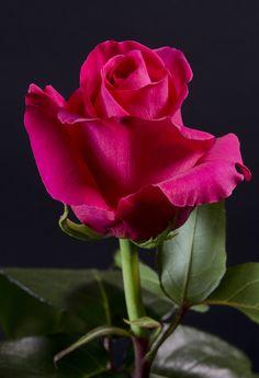 PINK FLOYD - Eden Roses Ecuador #Flowers #Roses #Ecuador #PrimeroEcuador…