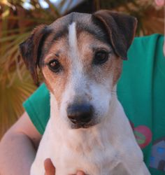 "At 13, Jumping Jack Flash is still sporty and fun-loving, though he's now called ""Jax"" (his nickname) more often as he has developed into a very thoughtful boy.  Jax is a Jack Russell Terrier, neutered and well-behaved, compatible with dogs & cats & kids, plus housetrained too.  He is debuting for adoption today at Nevada SPCA (www.nevadaspca.org).  Jax needed us when his previous owner moved to Hawaii. Will you please share his picture to help Jax find a hero?"