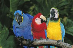 macaw | three macaws macaw parrot photo gallery by alyson kalhagen