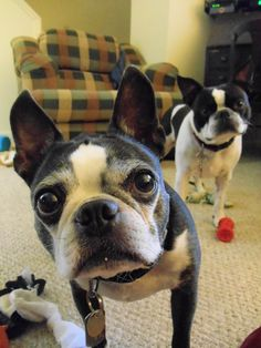 """Boston Terriers--Leo & Doc looking at me like """"but mom, we took all of our toys out just for you"""""""