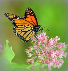 ~~Butterfly on Mountain Laurel by MHM710~~