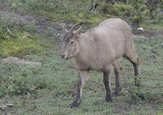 West Caucasian Tur (Capra caucasica)