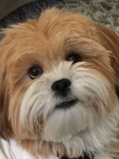 Sweet lhasa puppy!