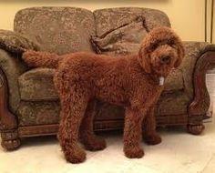 standard poodle, teddy bear clip