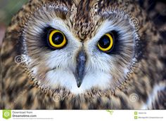 Gamekeeper Simon Lester offers his guide to these mesmerising creatures, from the pocket-sized Little Owl to the fearsome Eagle Owl - a bird large enough to carry off a baby deer. Beautiful Birds, Animals Beautiful, Cute Animals, Strix Aluco, Short Eared Owl, Look Into My Eyes, Bird Theme, Baby Deer, Birds Of Prey