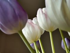 Pink and purple tulips.