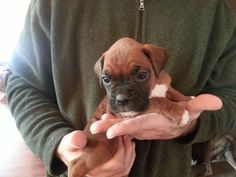 Little baby girl from Double H Boxers
