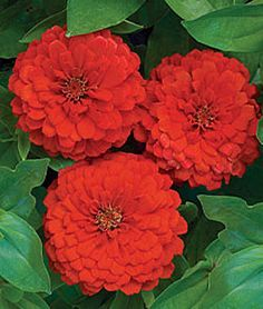 Zinnia Seeds and Plants - Bedding and Cut Flowers at Burpee Seeds