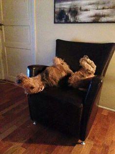 Airedale Sleep Position #26