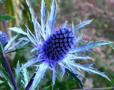Eryngium planum, Blue Sea Holly, 25 seeds, deer proof,  zones 4 to 11, bright shade, cut flower, great dried flower