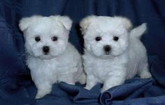Some breeds like the Teacup Yorkie or the Teacup Maltese are even hypoallergenic because they are non-shedding. Description from dogpup.net. I searched for this on bing.com/images