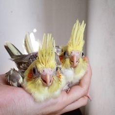 Criadouro WingsさんはInstagramを利用しています:「Gêmeos ❤ Twins ❤ #calopsita #cockatiel #parrot #calopsitasbr #parrotlovers #birdslovers #lovebird #lovepet #ilovemypet #ilovemybird…」