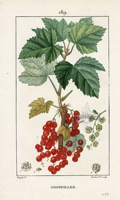 Szkic botaniczny - Czerwona Porzeczka