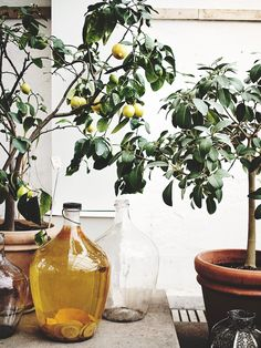 Citronträd // lemon tree