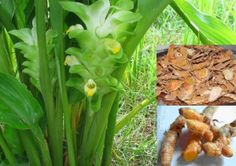 Turmeric The Promiscuous Plant