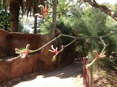 Kangaroo Paw, a native of Western Australia