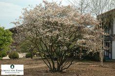 Amelanchia lamarckii of krentenboom
