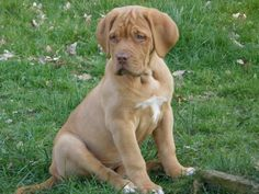 Dogue De Bordeaux. I swear this is my Ivy. She's a doll!