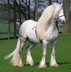 Percheron horses, massive in size, were used to clear rock and plow. Pretty full long white mane. Beautiful light dapple grey color. Gorgeous horse!