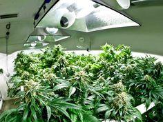 Marijuana plants have to be just close enough to your marijuana grow lights in an indoor grow room, but not too close.