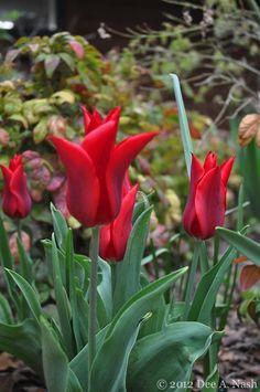 Pieter de Leur tulip-imp