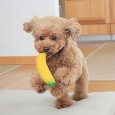 Meet Pino: The Adorable Toy Poodle (15 Pics) | Pleated-Jeans.com