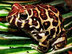 Herpetozona: Fichas de Anfibios