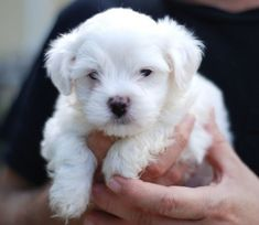 We have available exceptional tiny tiny Tea Cup Maltese Puppies for sale, Puppies are AKC registered, vet checked, Micro chip, wormed and faces no health problems, they are all potty trained and well socialized with kids and other animals and will make the perfect companion to a pet loving home, they are ready to joinRead More The post LUCKY – AKC Tea Cup Maltese pups for sale appeared first on VIP Puppies - Puppy Finder - Puppies for Sale & Puppies for Adoption. If you've enjoyed this post…