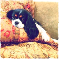 Cavalier King Charles Spaniel- my dream dog