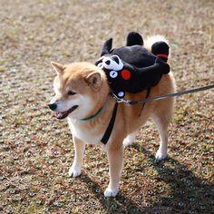 TOO FRACKING CUTE! Shiba Inu Backpacking Hiker …
