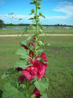 Botanical Name: Alcea rosea                Common Name: Hollyhocks