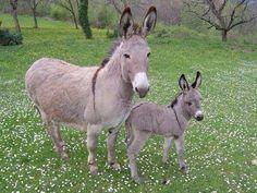 "starlightnymph: "" super cute mamma and baby donkey in a pretty little meadow "" Baby Donkey, Cute Donkey, Mini Donkey, Farm Animals, Animals And Pets, Cute Animals, Miniature Donkey, Animals Of The World, Pet Birds"