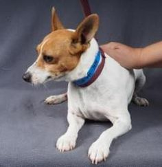 Tucker is an adoptable Toy Fox Terrier Dog in Colorado Springs, CO. Howdy! My name is Tucker and I'm a 6 year old, Toy Fox Terrir/Rat Terrier mix, at least that's what I might be. I weigh about 13 pou...