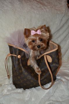 A Louis Vuitton and a Yorkie....... They just go together!