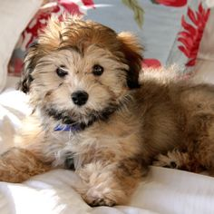 grooming a havanese dogs dogs dogs pinterest love this i want to and to be. Black Bedroom Furniture Sets. Home Design Ideas