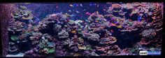 A aquarium sentosa reeftank Coral Reef Aquarium, Saltwater Aquarium Fish, Glass Aquarium, Aquarium Design, Saltwater Tank, Marine Aquarium, Rare Fish, Reef Tanks, Cool Fish