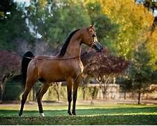 Arabian horse | Arabian Beauties | Pinterest