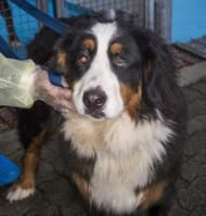 Some of the most expensive and sought-after breeds of dogs are being nursed back to health in Vancouver after being seized from an alleged puppy mill in nearby Langley. Sixty-six animals, including the Bernese seen in this handout photo, were seized Thursday in what B.C.'s SPCA said was one of the largest puppy mill seizures in the province's history. THE CANADIAN PRESS/HO-British Colombia Society for the Prevention of Cruelty to Animals