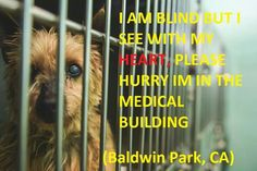(Baldwin Park, CA)   Very few people walk inside the medical building of the shelter. When he hears someone go by he gets excited and does circles in his tiny kennel. He is blind, but he desperately moves his face towards where he thinks the person is standing...hoping that the person is still there. That his ears didn't just imagine a kind person there to take him home.   ID A4418877  THANK YOU FOR SHARING. — at County of Los Angeles - Baldwin Park Animal Care Center.