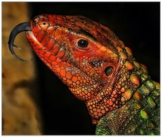 Northern Caiman Lizard by Klaus Wiese on 500px