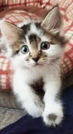 Female Maine Coons (Picking the Gender - Adorable kitten www.mainecoonguid… Adorable kitten www.mainecoonguid… Adorable kitten www. Kittens And Puppies, Cute Cats And Kittens, Kittens Cutest, Ragdoll Kittens, Tabby Cats, Funny Kittens, Bengal Cats, Kittens Meowing, Kitten Toys