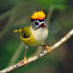 Firecrest (taiwan)... Courtship will include displays in which the male open his crest feathers.