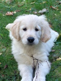 91 Best White Golden Retriever Images Pets Cute Puppies Dog Cat