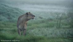 In the light of dawn - Frits Hoogendijk - Wildlife Photographer of the Year 2012 : Animal Portraits - Commended