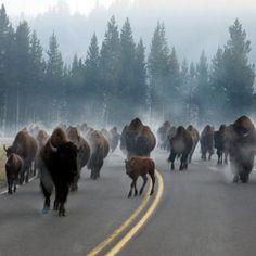 , Wyoming Traffic Jam at Yellowstone National Park. , Wyoming Traffic Jam at Yellowstone National Park. ,Traffic Jam at Yellowstone National Park. , Wyoming Traffic Jam at Yellowstone National Park. Yellowstone Nationalpark, Yellowstone Park, Wild Life, Wyoming, Beautiful Creatures, Animals Beautiful, Majestic Animals, Animals And Pets, Cute Animals