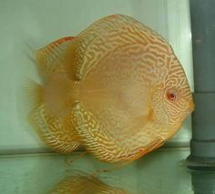 Discus Fish, Freshwater Aquarium Fish, Water Life, Beautiful Fish, Cichlids, Tropical Fish, Sea Creatures, Koi, South America
