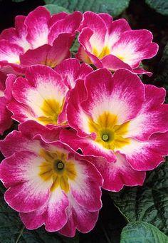 Primula vulgaris Fotografia de John Glover, uno de los primeros y de los mas importantes fotografos de jardin del Reino Unido