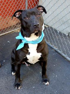 TO BE DESTROYED - TUESDAY - 4/1/14- Manhattan Center    ELDER - A0994739   *** SAFER: EXPERIENCED HOME ***   MALE, BLACK / WHITE, PIT BULL MIX, 3 yrs  STRAY - STRAY WAIT, NO HOLD  Reason STRAY   Intake condition NONE Intake Date 03/23/2014, From NY 10472, DueOut Date 03/26/2014,  https://www.facebook.com/photo.php?fbid=777449115601303&set=a.617938651552351.1073741868.152876678058553&type=3&permPage=1